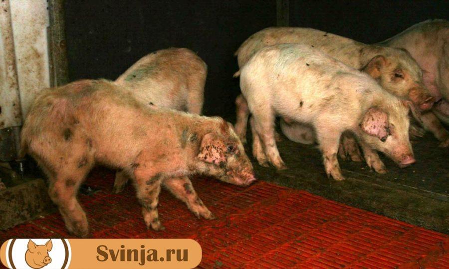Болезнь-ауески-у-свиней