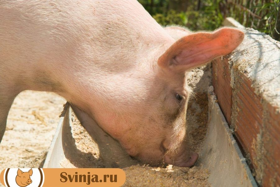 Кормление свиней сухим кормом
