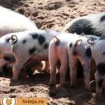 Миргородская свинья: особенности