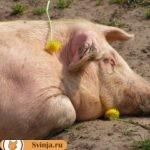 Что собой представляет уржумская свинья