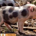 Белорусская порода свиней: описание и характеристики вида