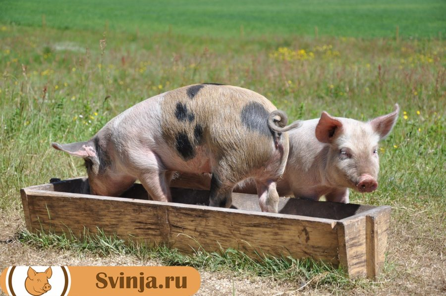 корма свинье