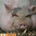 Сальная свинья: особенности и характеристики пород сального направления