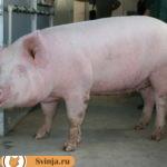 Брейтовские свиньи: история развития породы