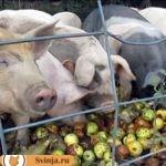Пищевые отходы для свиней
