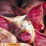 Пневмония у свиней. Виды, лечение, профилактика
