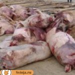 Трихинеллез у свиньи. Чем опасен