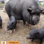 Черные породы свиней: разнообразие видов