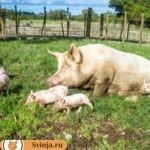 Язва желудка свиней – как распознать болезнь, лечение и профилактика