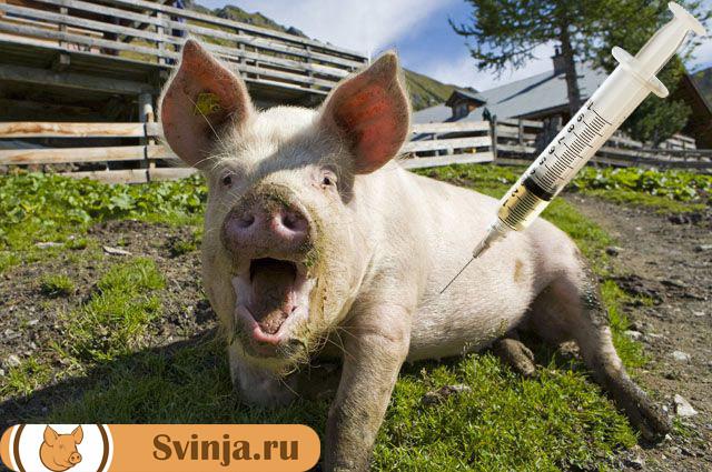 Как сделать укол свинье внутримышечно