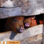 Как правильно построить свинарник в приусадебном хозяйстве