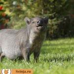 Почему свиньи пьют свою мочу и как это устранить