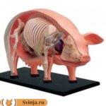 Сколько литров крови у свиньи и как ее использовать после убоя