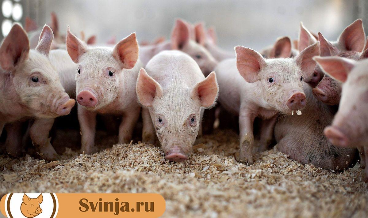 Подстилка для свиней виды и правила использования преимущества и недостатки