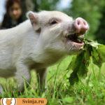 Свинья не кормит новорожденных поросят: причины, как искусственно выкормить поросят