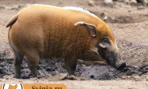 Африканская свинья
