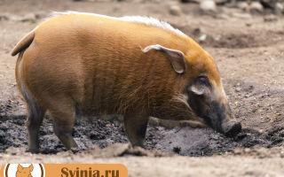 Африканская (Кистеухая) свинья