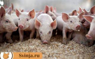 Био подстилка для свиней: выгоды и недостатки