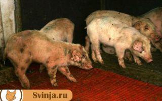 Болезнь ауески у свиней: чем опасна, симптомы, лечение