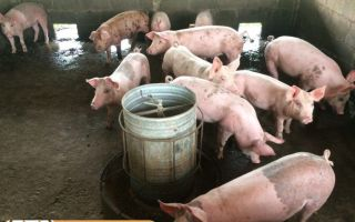 Кормовые дрожжи для свиней