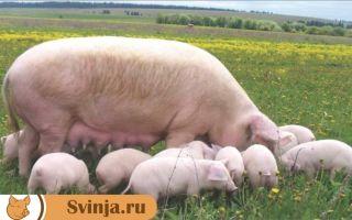 Породы свиней Йоркшир:описание и характеристики