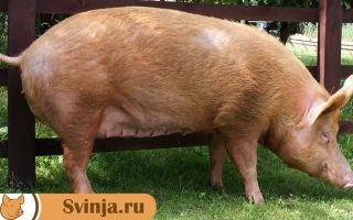 Порода свиней темвор