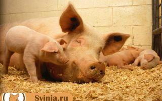 Опорос — роды у свиньи. Как правильно подготовиться
