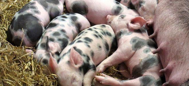 Зачем нужно железо для поросят и свиней