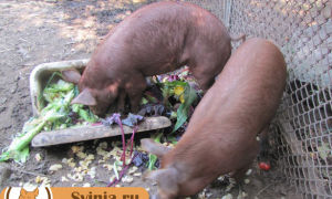 Откорм свиней на мясо: как правильно кормить?