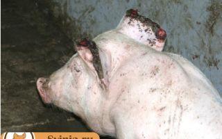 Ринит у свиней