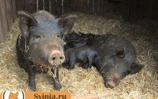 Свиньи Кармалы. Описание породы и особенности содержания