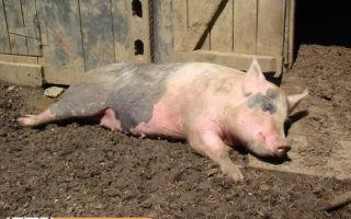 Респираторно-репродуктивный синдром свиней