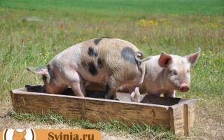 Сколько нужно корма свинье?