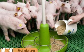 Можно давать соль свиньям или нет: правильное питание для скота