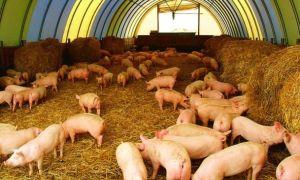 Разведение свиней как бизнес: где продавать и как выращивать?