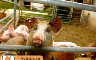 Как устроить поилки для свиней