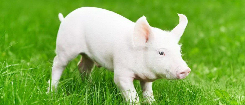 Породы свиней в домашних условиях 35