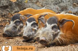 Африканская свинья3