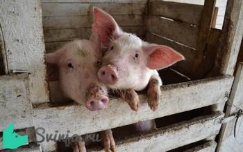 Забой свиней