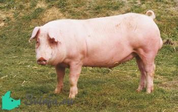 Ландрас свиней