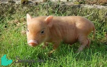 Декоративные породы свиней
