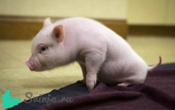 Почему свинья опускается на задние ноги