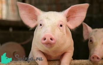 Свинья живым весом