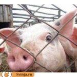 Чем опасна африканская чума свиней