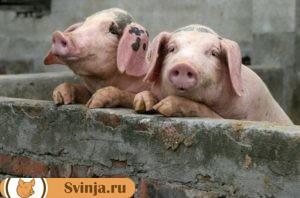 Чума свиней 1