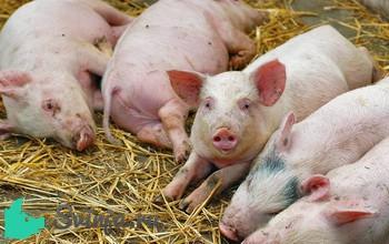 Чумка у свиней