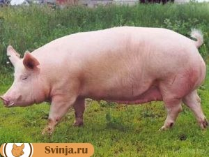 мясные породы свиней 1
