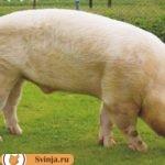 Мясные породы свиней