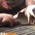 Почему свиньи