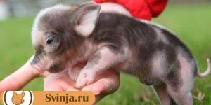 свинка Миргородская